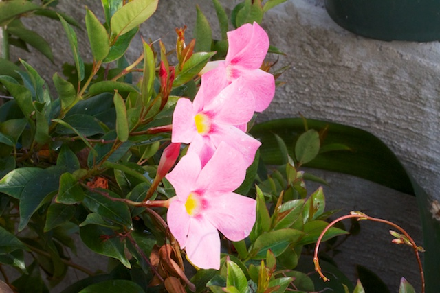 Mandevilla in the greenhouse