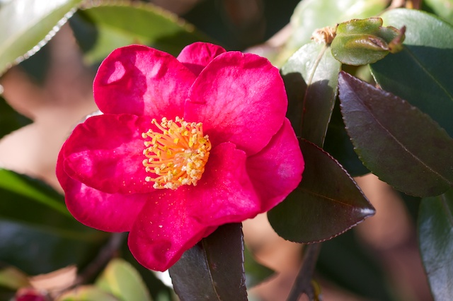 Red Camellia Sasanqua month after month