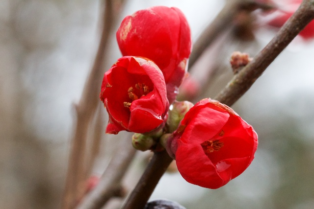 Red Flowering Quince (Chaenomeles)
