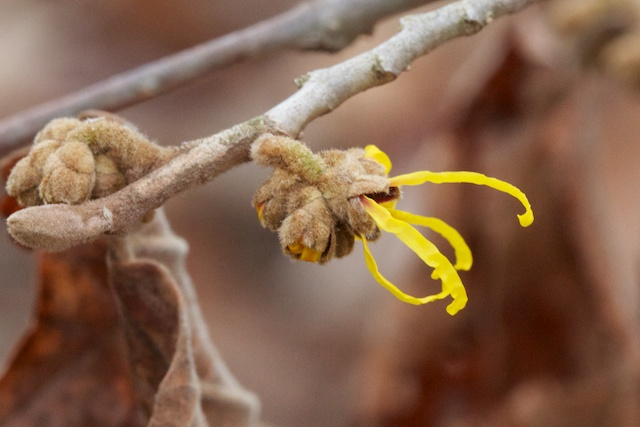 Witch Hazel (Hamamelis mollie) first straps showing