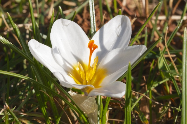 First Crocus is Ard Shenk