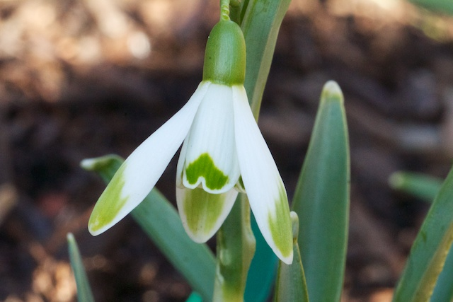 Galanthus nivalis 'Floro Pleno'