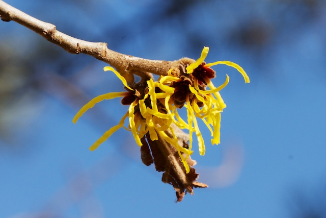 Witch hazel (Hamamelis mollis) close-up