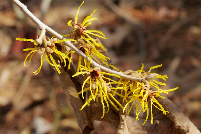 Witch hazel (Hamamelis mollis)