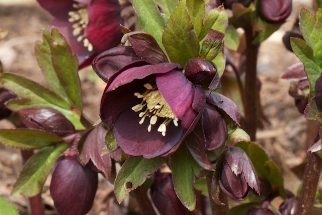 Dark purple Hellebore