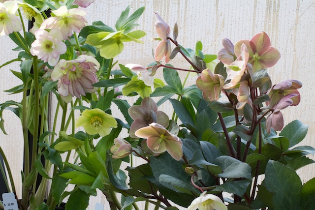 Hellebores brought back from Carolina
