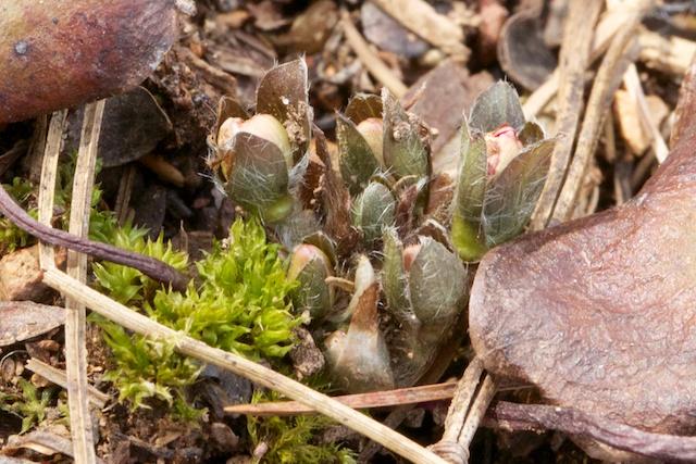 Hepatica japonica emerging