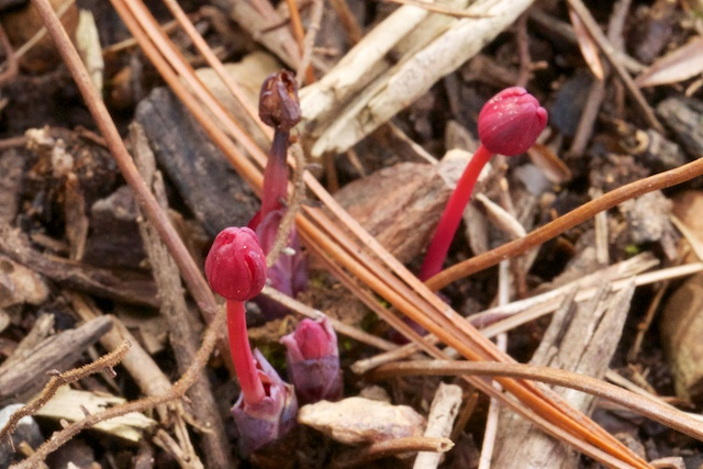 Jeffersonia dubia emerging