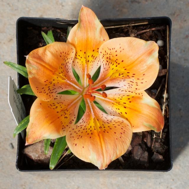 Lilium maculatum ssp. davuricum f. rebunense