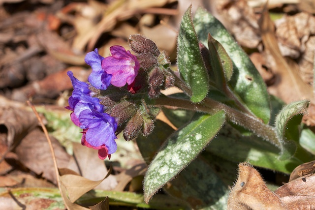 Pulmonaria officinalis (Liverwort)