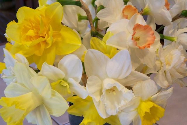 Daffodil cluster