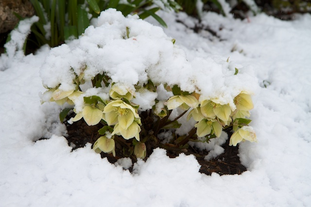 Helleborus Ivory Prince in the snow