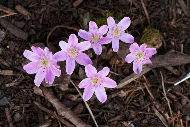 Hepatica japonica pink