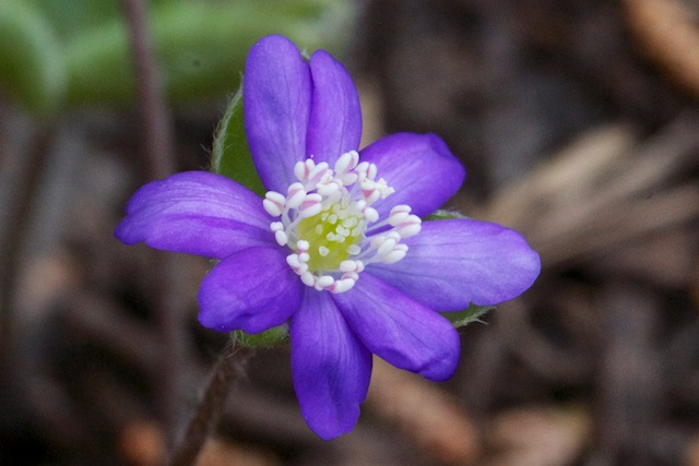 Hepatica nobilis 'Lithuanian Blue'