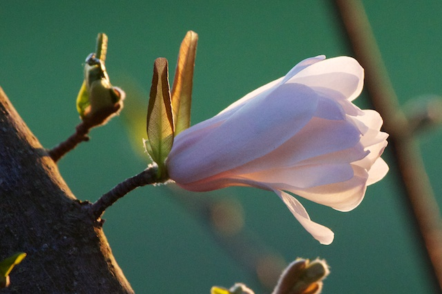 Magnolia stellata at dawn
