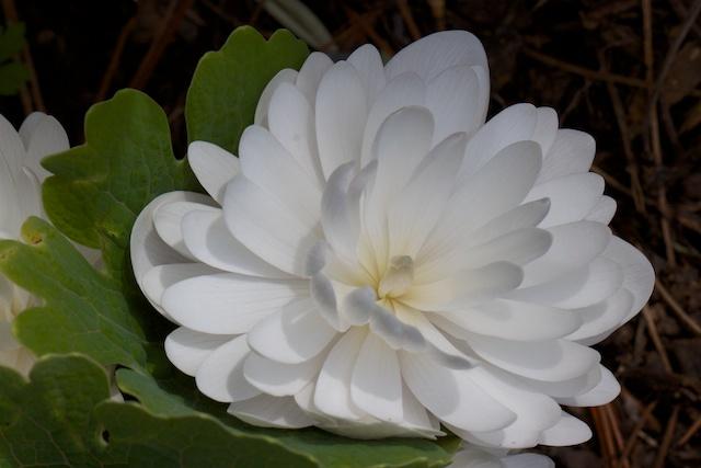 Sanguinaria canadensis 'Multiplex' (2)