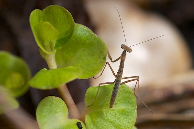 Small Preying Mantis