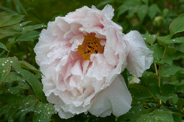 White Tree Peony in the rain
