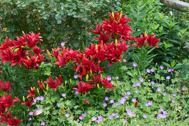 Another patch of Blackout Lilies with Rozanne Geraniums