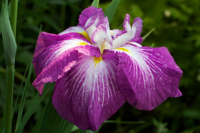 Iris ensata 'Agripinella'