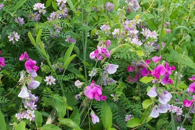 Wild Pea (Lathyrus latifolia) and Crownvetch (Coronilla varia L.)