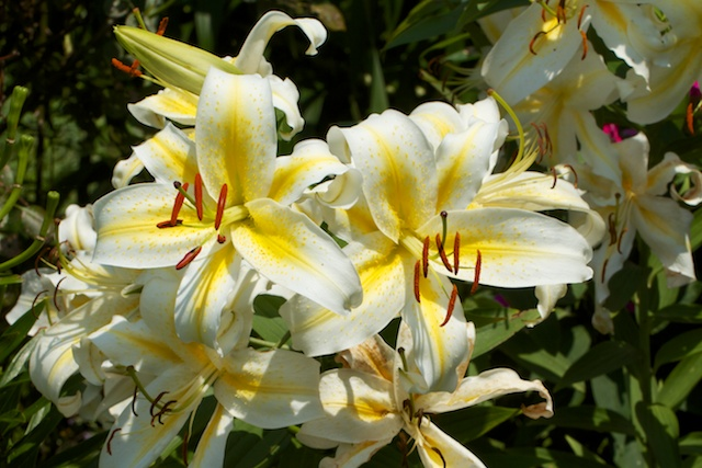 Oriental Lily 'Time Out'