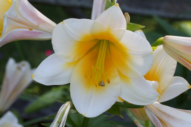 Trumpet Lily 'Lady Alice